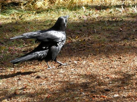 An north american raven.